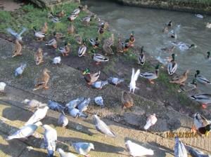05F07pigeons